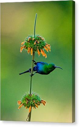 Malachite Sunbird Nectarinia Famosa Canvas Print