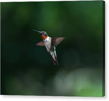 Male Ruby Throated Hummingbird Canvas Print