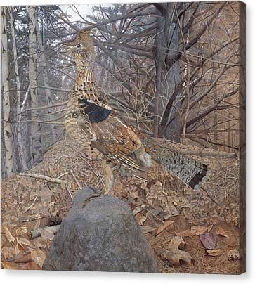 Male Ruffed Grouse In The Forest Canvas Print by Gerald Thayer