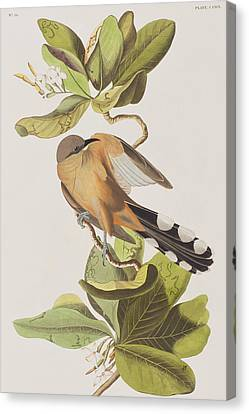 Mangrove Cuckoo Canvas Print by John James Audubon