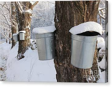 Maple Syrup Collecting Canvas Print by Larry Landolfi