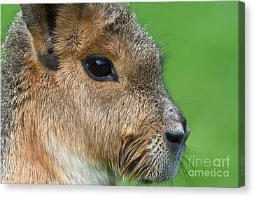 Cavy Canvas Print - Mara Or Patagonian Hare by Dr. Hinrich B�semann