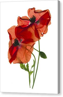 Margie's Poppy Duo Canvas Print by Julia McLemore