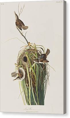 Wren Canvas Print - Marsh Wren  by John James Audubon