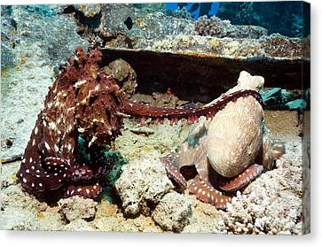 Mating Pair Of Day Octopuses Canvas Print by Georgette Douwma