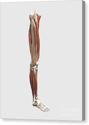 Medical Illustration Of Human Leg Canvas Print by Stocktrek Images