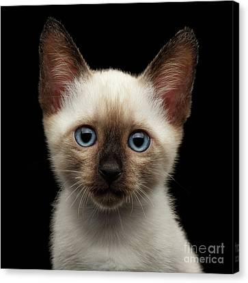 Mekong Bobtail Kitty With Blue Eyes On Isolated Black Background Canvas Print