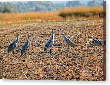 Migrating Sandhill Cranes Canvas Print by Robert Bales