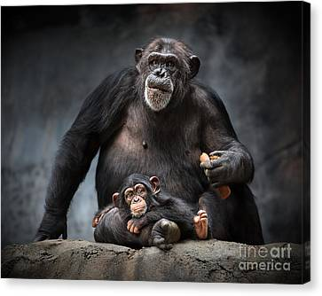 Chimpanzee Canvas Print - Mommy Pillow by Jamie Pham