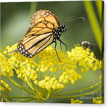 Monarch Butterfly Canvas Print by Ricky L Jones