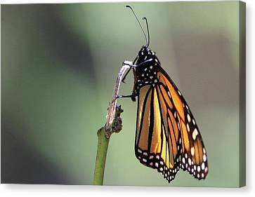 Monarch Butterfly Stony Brook New York Canvas Print by Bob Savage