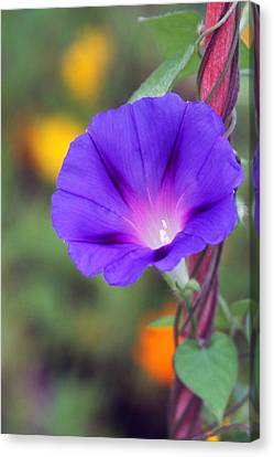 Canvas Print featuring the photograph Morning Glory by Vadim Levin