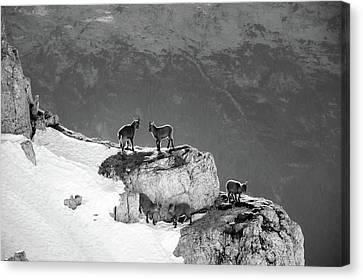 Mountain Goats Canvas Print by Medina Rosa
