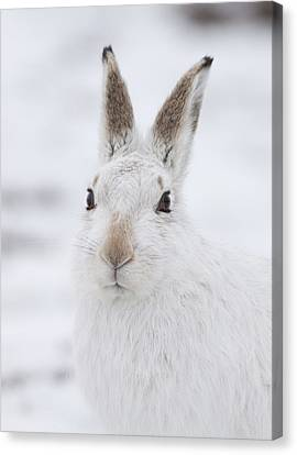 Mountain Hare In The Snow - Lepus Timidus  #1 Canvas Print
