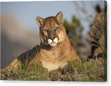 Mps Canvas Print - Mountain Lion Portrait North America by Tim Fitzharris