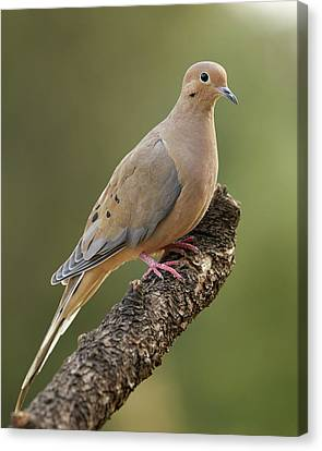 Mourning Dove Canvas Print by Doug Herr