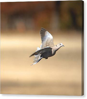 Mourning Dove In Flight Canvas Print by Roy Williams