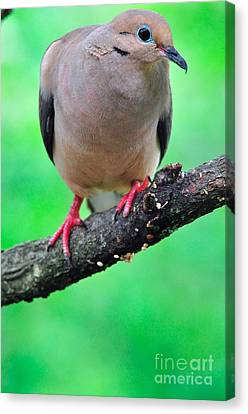 Mourning Dove Canvas Print by Thomas R Fletcher