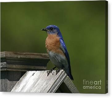 Mr Blue Bird Canvas Print by Robert Pearson