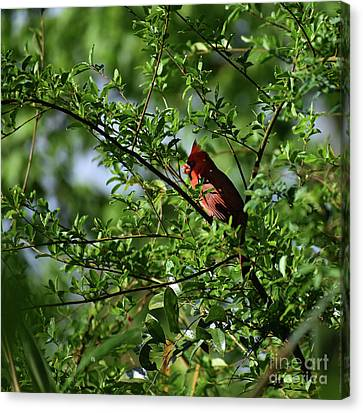 Canvas Print featuring the photograph Mr Red by Skip Willits