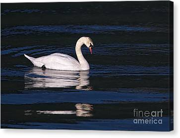 Canvas Print featuring the photograph Mute Swan  by Sharon Talson