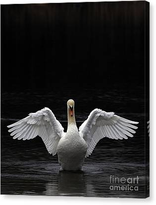 Mute Swan Stretching It's Wings Canvas Print by Urban Shooters