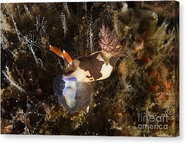 Nembrotha Chamberlaini With Feeding Canvas Print
