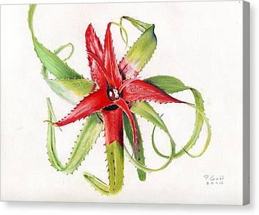 Neoregelia Pendula Canvas Print by Penrith Goff