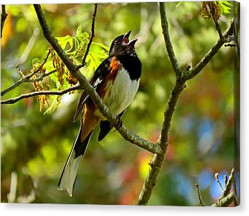 Towhee In Song Canvas Print