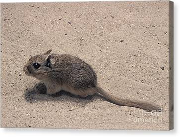 Gerbil Canvas Print - North African Gerbil by Gerard Lacz