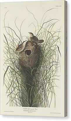 Nuttall's Lesser Marsh Wren Canvas Print by Rob Dreyer