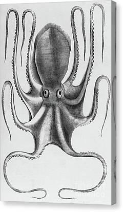 Octopus Canvas Print by Antonio Lafreri
