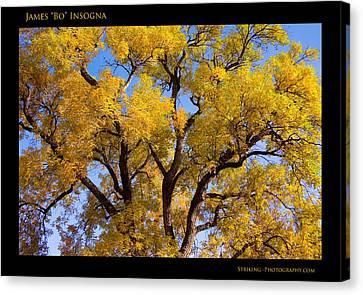 Old Giant  Autumn Cottonwood Canvas Print