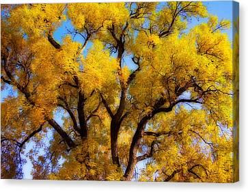 Old Giant  Autumn Cottonwood Orton Canvas Print