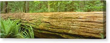 Old-growth Redwoods At Jedediah Smith Canvas Print by Panoramic Images