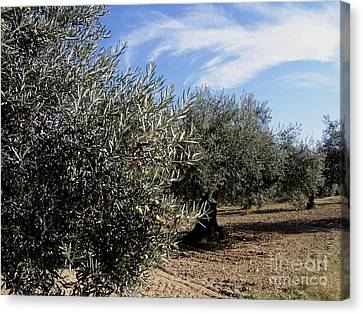 Olive Trees Canvas Print by Judy Kirouac