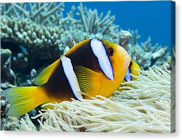 Orange Fin Anemonefish Canvas Print by Dave Fleetham - Printscapes