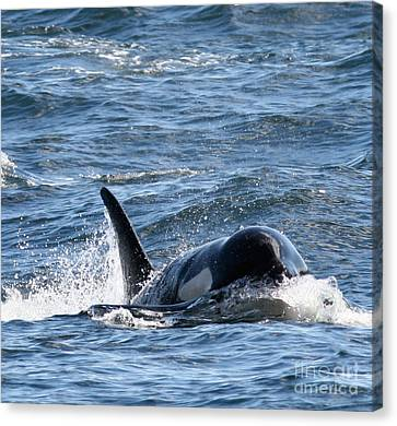 Orca Whales In The San Juan Islands Canvas Print by Sandy Buckley