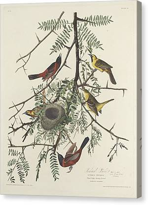 Orchard Oriole Canvas Print by Rob Dreyer