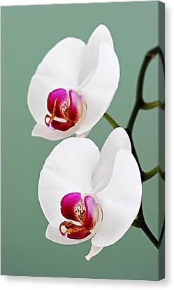 Orchid-2-st Lucia Canvas Print