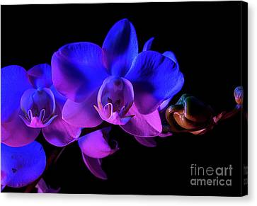 Orchid Canvas Print by Brian Jones