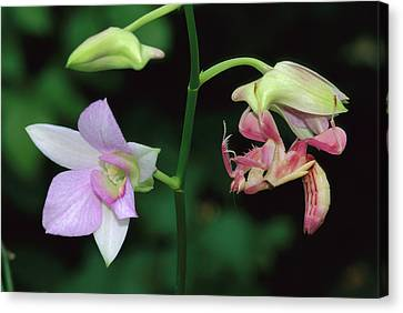 Orchid Mantis Hymenopus Coronatus Canvas Print by Thomas Marent