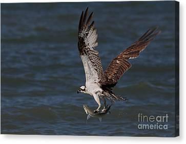 Osprey In Flight Canvas Print by Meg Rousher