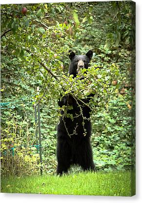 Canvas Print featuring the photograph Our Bear Loves Apples by Ronda Broatch