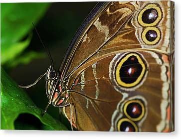 Owl Buttterfly Canvas Print