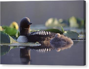Baby Bird Canvas Print - Pacific Loon Gavia Pacifica Parent by Michael Quinton