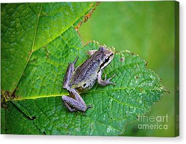 Canvas Print - Pacific Tree Frog by Nick Gustafson