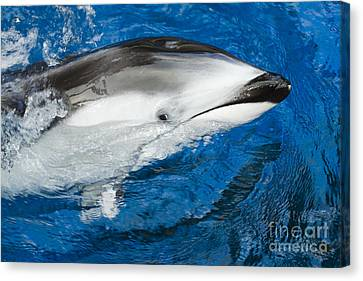 Pacific White-sided Dolphin Canvas Print by Dave Fleetham - Printscapes