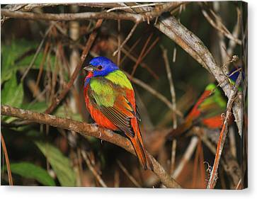 Painted Bunting Canvas Print by John Absher