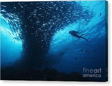 Palau, Diving Canvas Print by Dave Fleetham - Printscapes